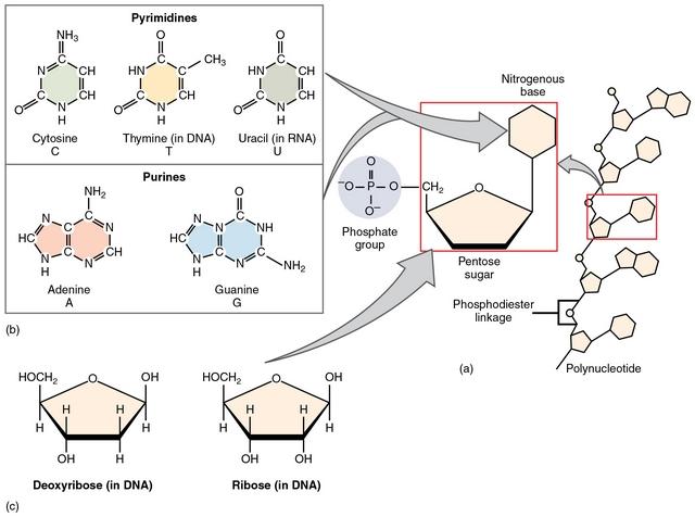 Building Blocks Of Large Biological Molecules