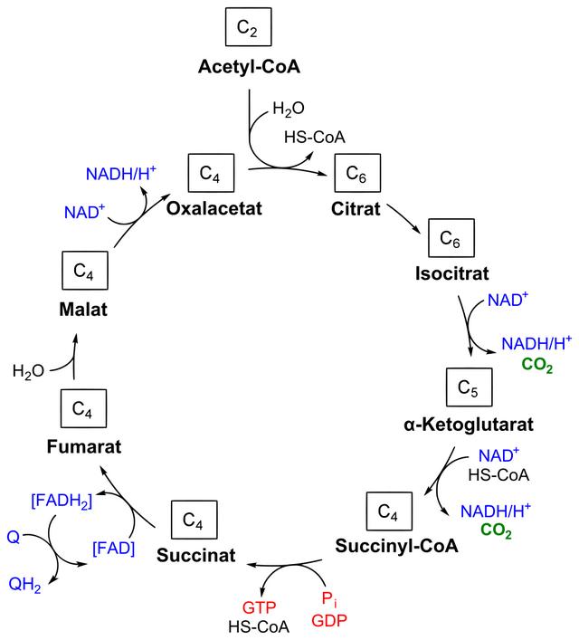 Citratzyklus Drehschreibe Des Stoffwechsels