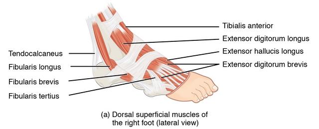 """Bild: """"Intrinsic Muscles of the Foot"""" von philschatz. Lizenz: CC BY 4.0. Es wurden Änderungen vorgenommen: Dies ist nur ein Ausschnitt des Originalbilds."""