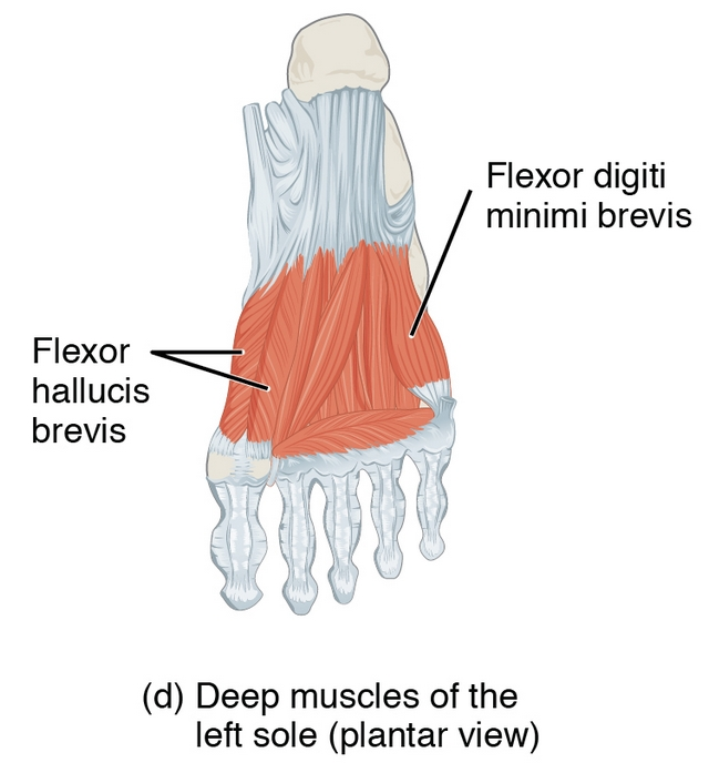 diese abbildung zeigt die muskulatur des großzehenballens des fußes