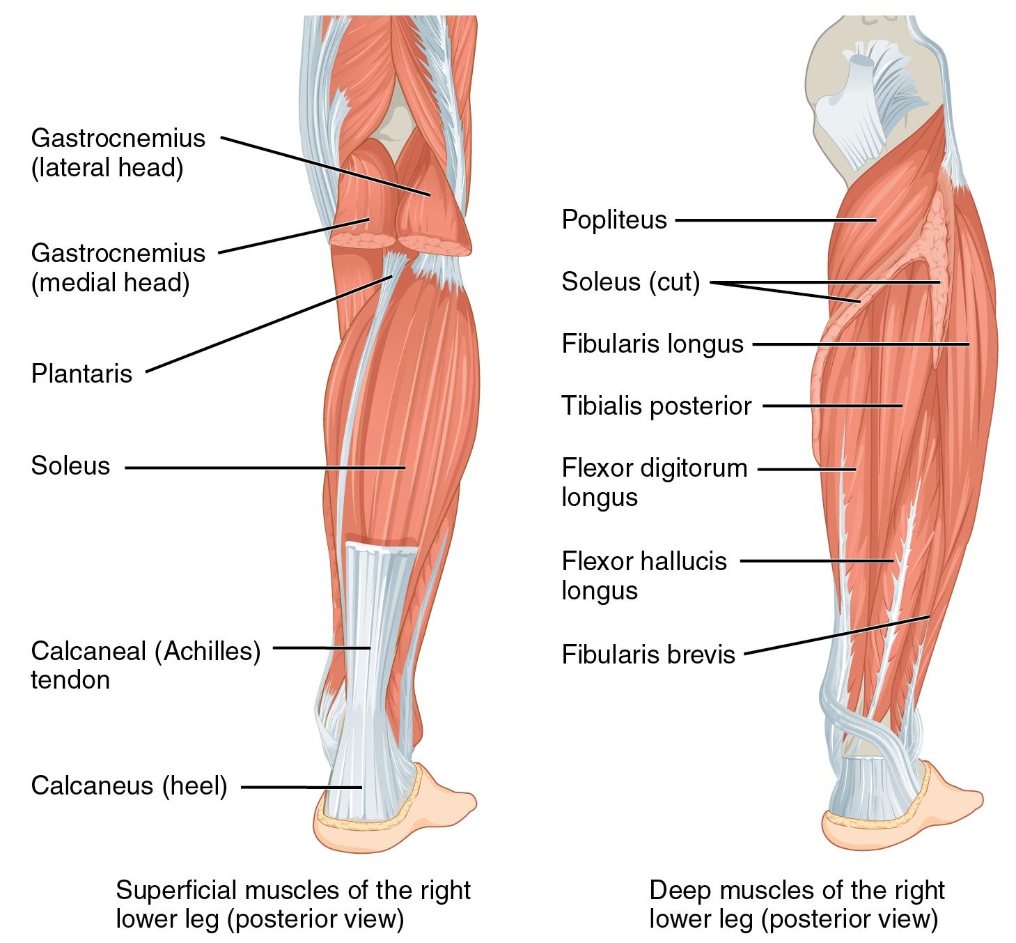"""Bild: """"Muscles of the Lower Leg"""" von philschatz. Lizenz: CC BY 4.0. Es wurden Änderungen vorgenommen: Dies ist nur ein Ausschnitt des Originalbilds."""