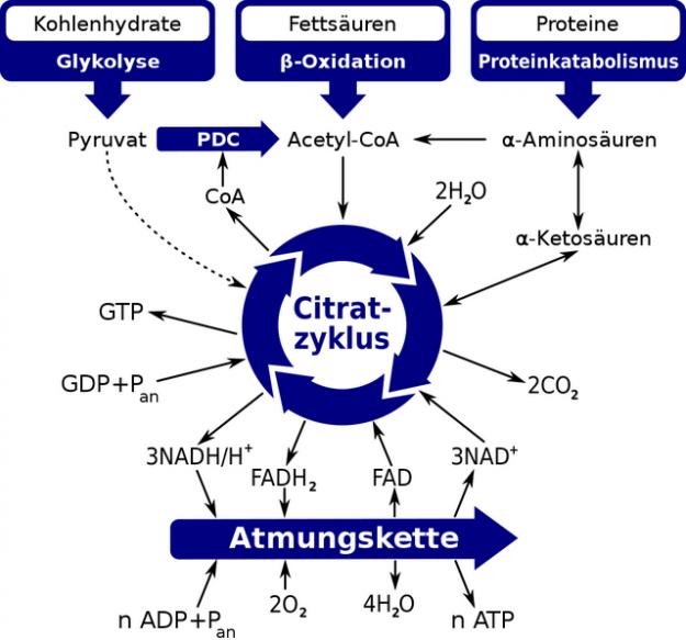 Rolle des Citratzyklus imIintermediaerstoffwechsel