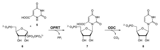 diese abbildung zeigt die synthese von omp und ump