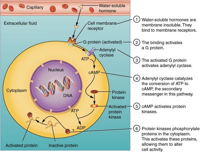 diese abbildung zeigt wie wasserloesliche hormone gebunden werden