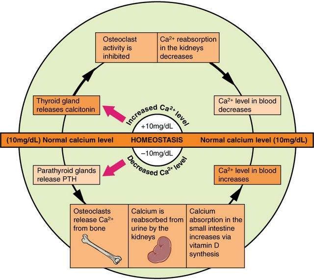 diese darstellung zeigt den ablauf der calcium-homoeostase