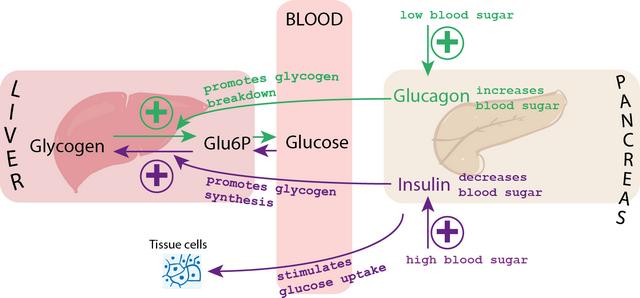 diese darstellung zeigt wie der blutzuckerspiegel durch insulin und glucagon kontrolliert wird
