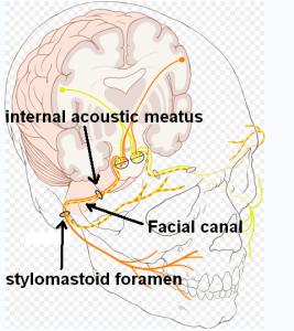 Nervus Facialis & Facial Kanal