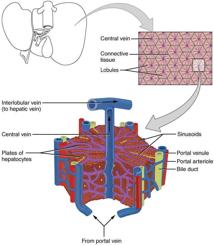 mikroskopische Ansicht der Leber