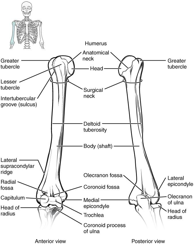 ellenbogengelenk  u2013 anatomie der oberen extremit u00e4t