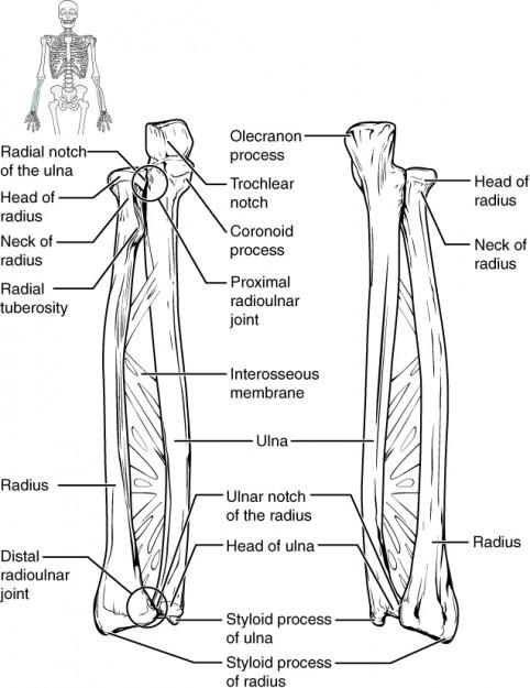 Grafische Darstellung von Ulna und Radius
