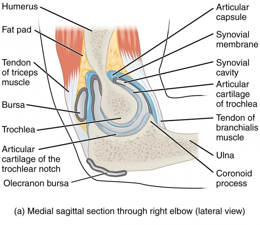 Ziemlich Unterarm Anatomie Nerven Ideen - Menschliche Anatomie ...
