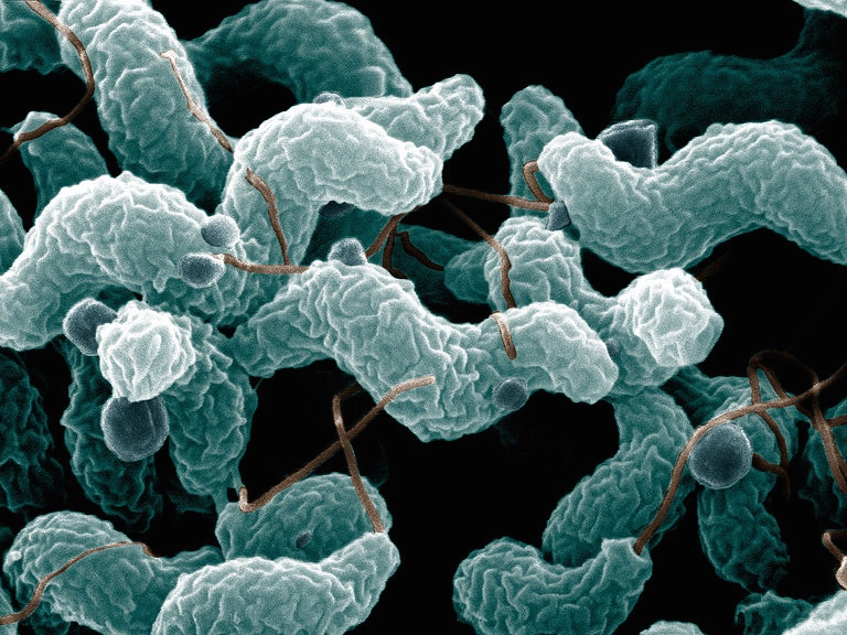 ARS Campylobacter jejuni
