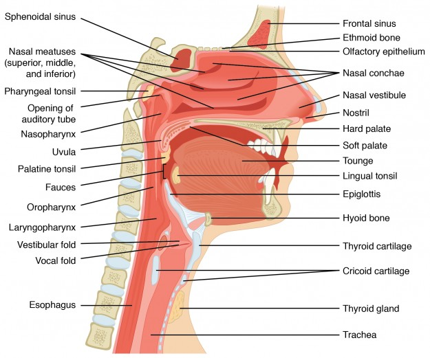Anatomy of Nose Pharynx Mouth Larynx