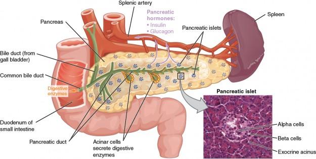 Das Pankreas mit mikroskopischer Ansicht und Beschriftungen