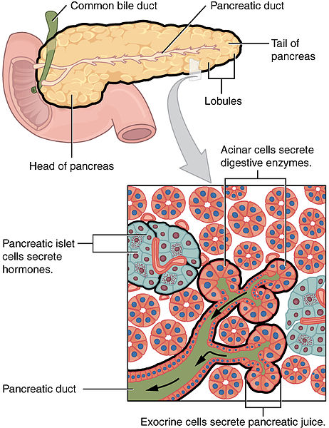Pankreas Verdauungssystem