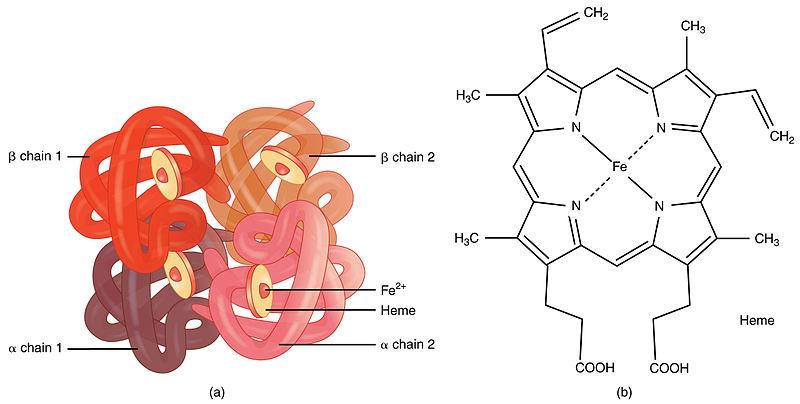 Hämoglobin
