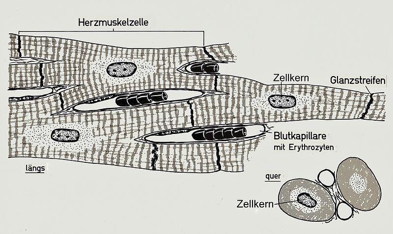 Herzmuskelzelle
