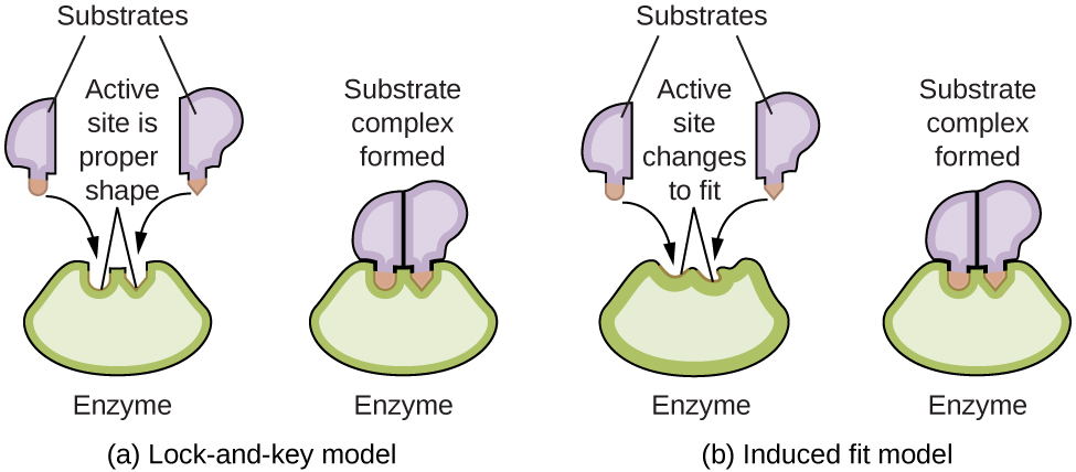 enzyme catalysis hypothesis The effects of an enzyme catalyst on h 2 o 2 1 do you observe anything that indicates that a chemical change is taking place yes, the solution begins to bubble and.