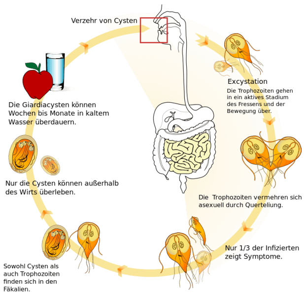 Lebenszyklus-Giardia