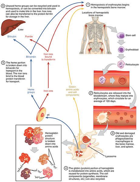 Lebenszyklus der Erythrozyten