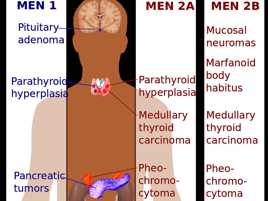 Erfreut Wo Endokrinen Drüsen Gefunden Fotos - Menschliche Anatomie ...
