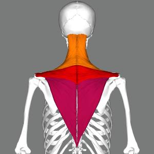 Musculus Trapezius