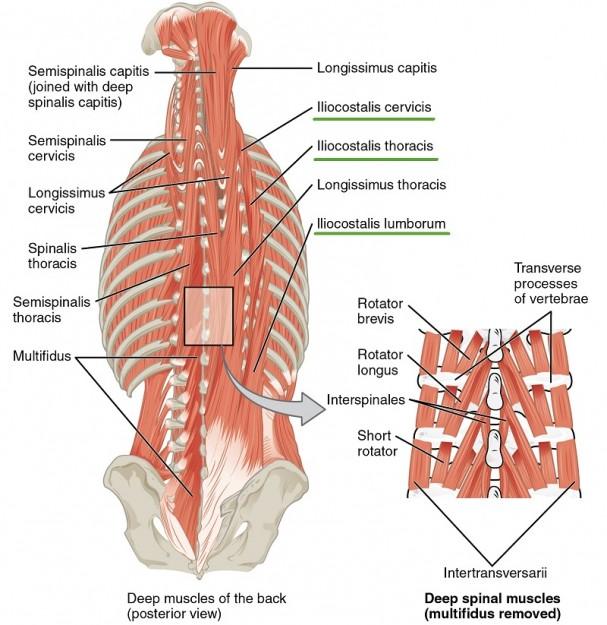 Muskeln des Nackens und Rückens - Iliocostalis-Gruppe