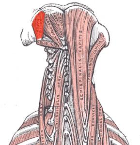 Obliquus capitis superior