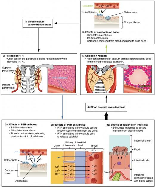 Parathormone beim Erhalt der Homeostase