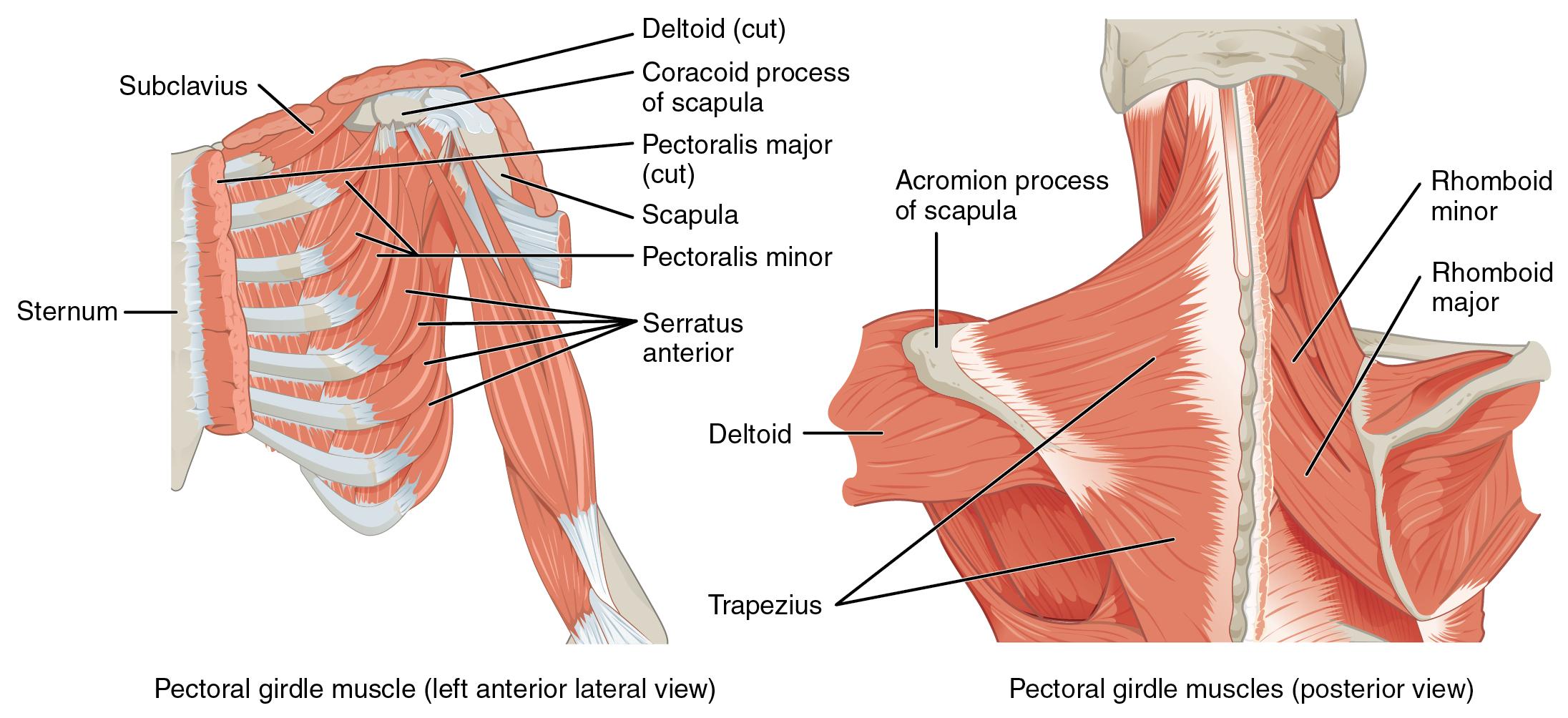 Rückenmuskulatur