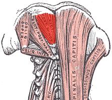 Rectus capitis posterior minor