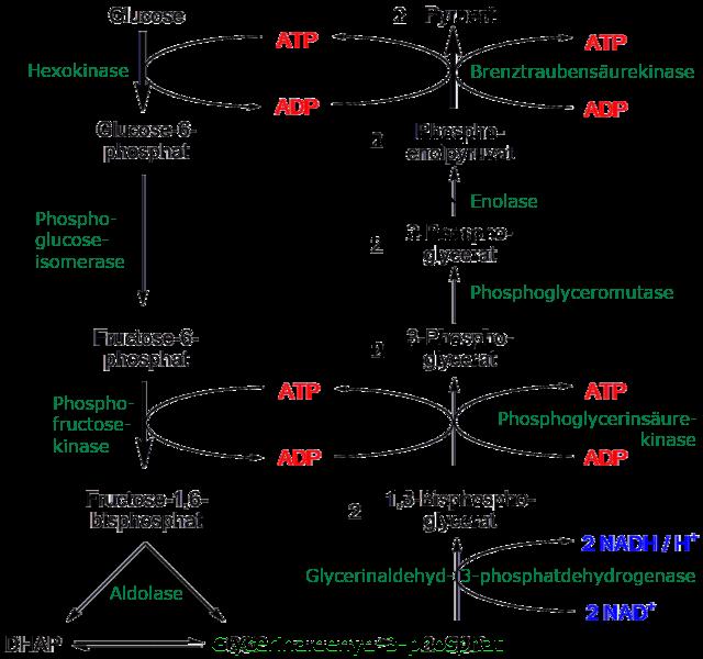 Schema der Glykolyse