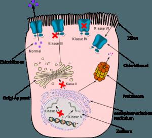 Schematische Darstellung der 6 verschiedenen Mutationsklassen bei Mukoviszidose (Zystische Fibrose)