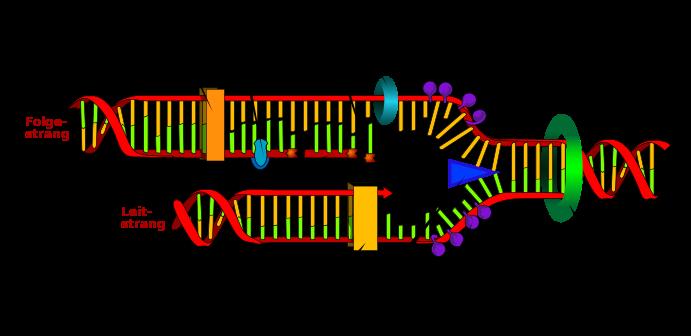 Schematische Darstellung der DNA-Replikation.