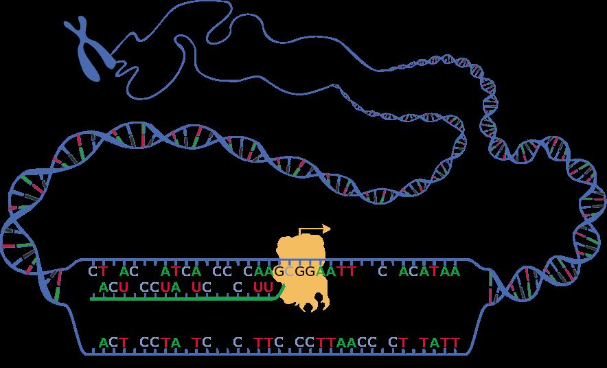 Schematische Darstellung der beiden DNA-Stränge während der Transkription (sense und antisense) und des entstehenden RNA-Transkripts