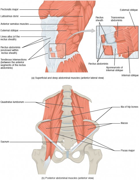 diese abbildung zeigt alle muskeln des abdomens