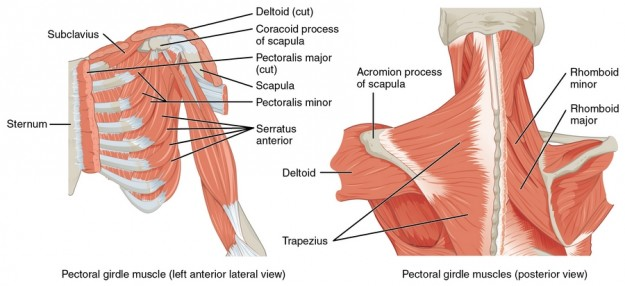 diese abbildung zeigt alle muskeln des schultergürtels