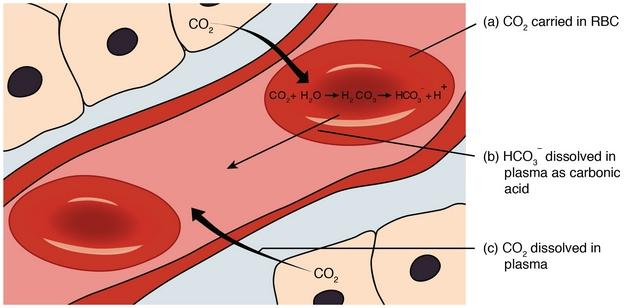 diese abbildung zeigt den co2 transport im blut