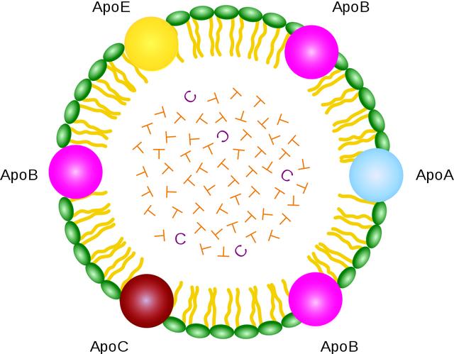 diese abbildung zeigt die struktur eines chylomikrons