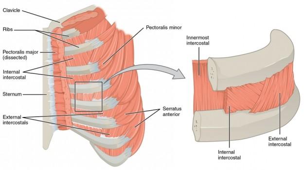 diese abbildung zeigt die zwischenrippenmuskeln