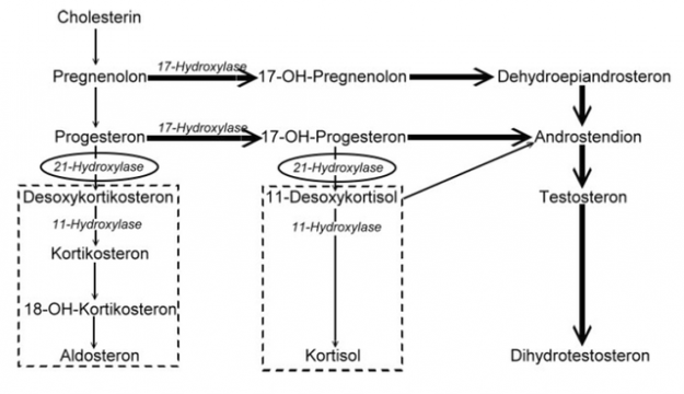 kongenitale-adrenale-hyperplasie-enzyme