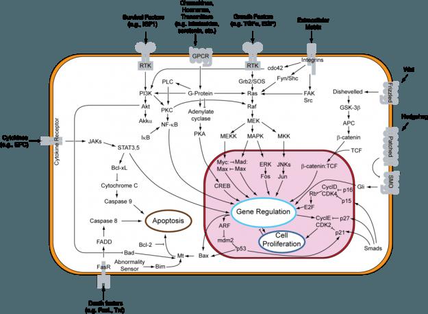 Übersicht der Apoptose Signalwege
