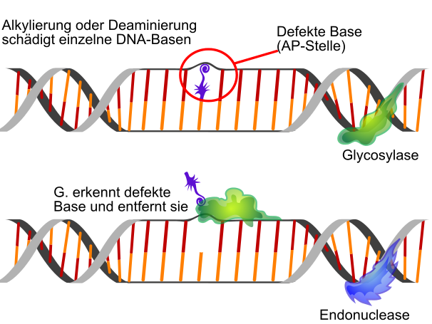 """Bild: """"Basenexzisionsreparatur ist eine der einfachsten Arten von DNA-Reparatur"""" von LadyofHats. Lizenz: Public Domain"""