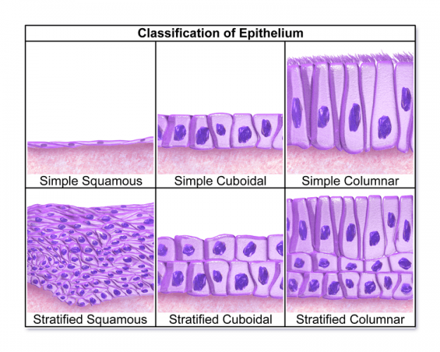 Epithelien aus Histologie der Epithelien