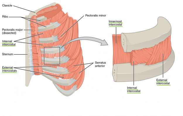 The external intercostals are located laterally on the sides of the body. The internal intercostals are located medially near the sternum. The innermost intercostals are located deep to both the internal and external intercostals.