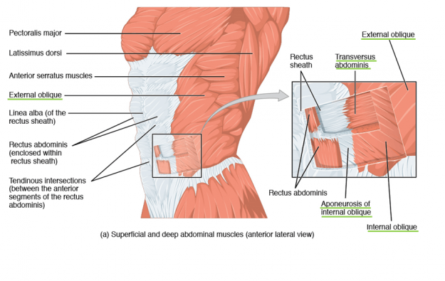 Superficial and deep abdominal muscles (anterior lateral view).