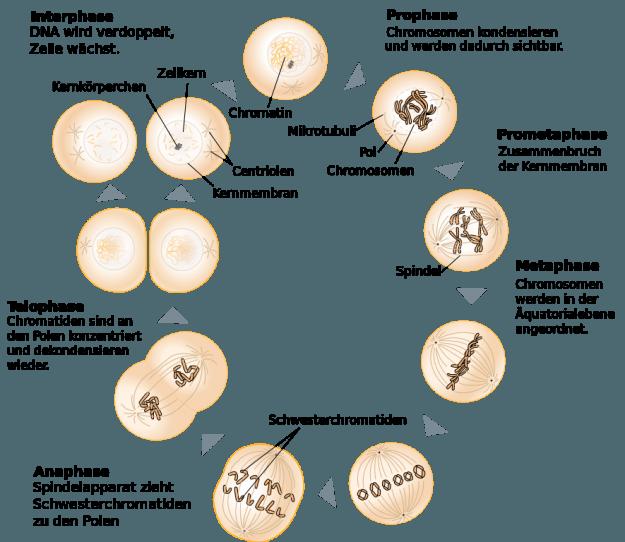 Schematische Zeichung der Mitose