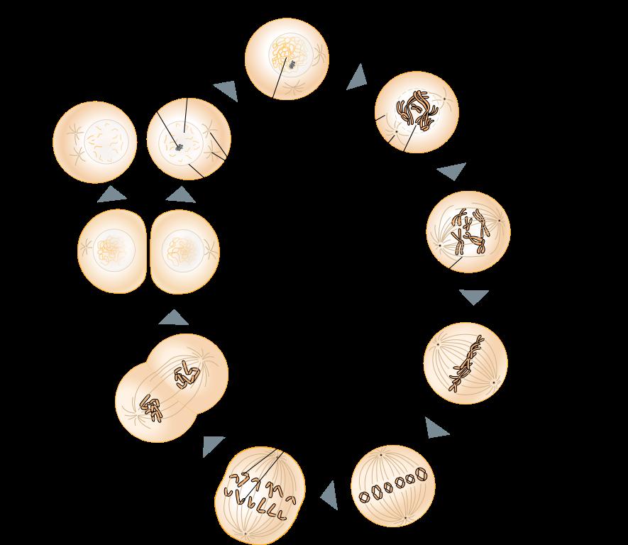 Zellzyklus: Regulation, Apoptose, Mitose und DNA-Replikation