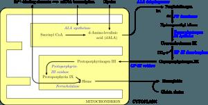 Schema der Hämsynthese