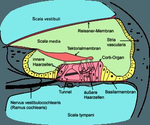Schnitt durch die Hörschnecke (schematisch)